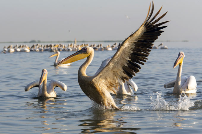 Great White Pelican - Photo: Bruno D\'Amicis