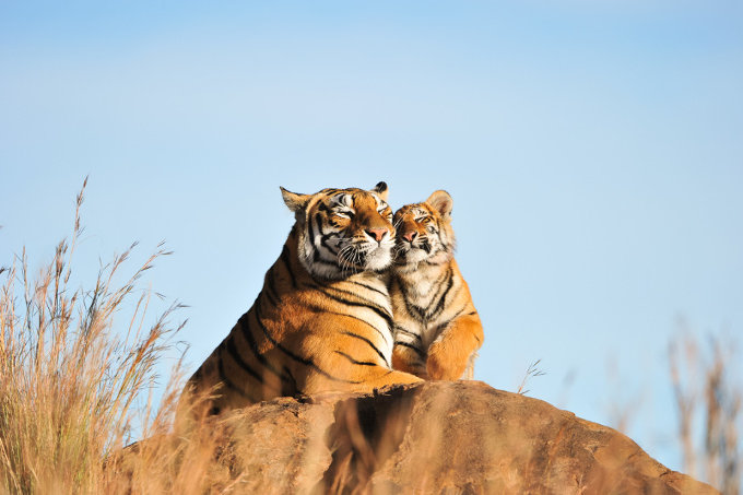 Bengalische Tiger - Foto: Adobe Stock/  julianwphoto
